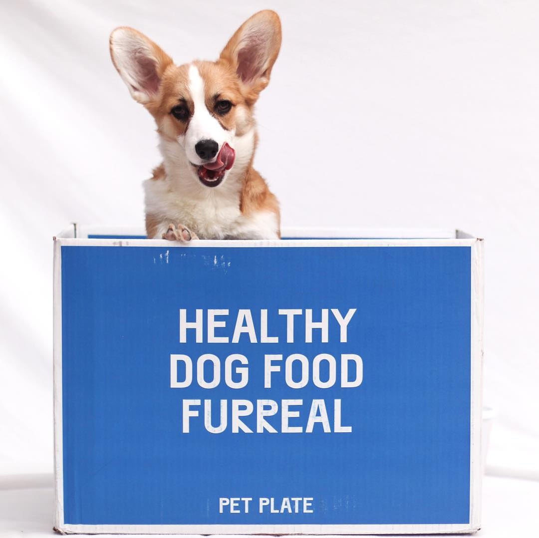 A corgi in a Pet Plate box