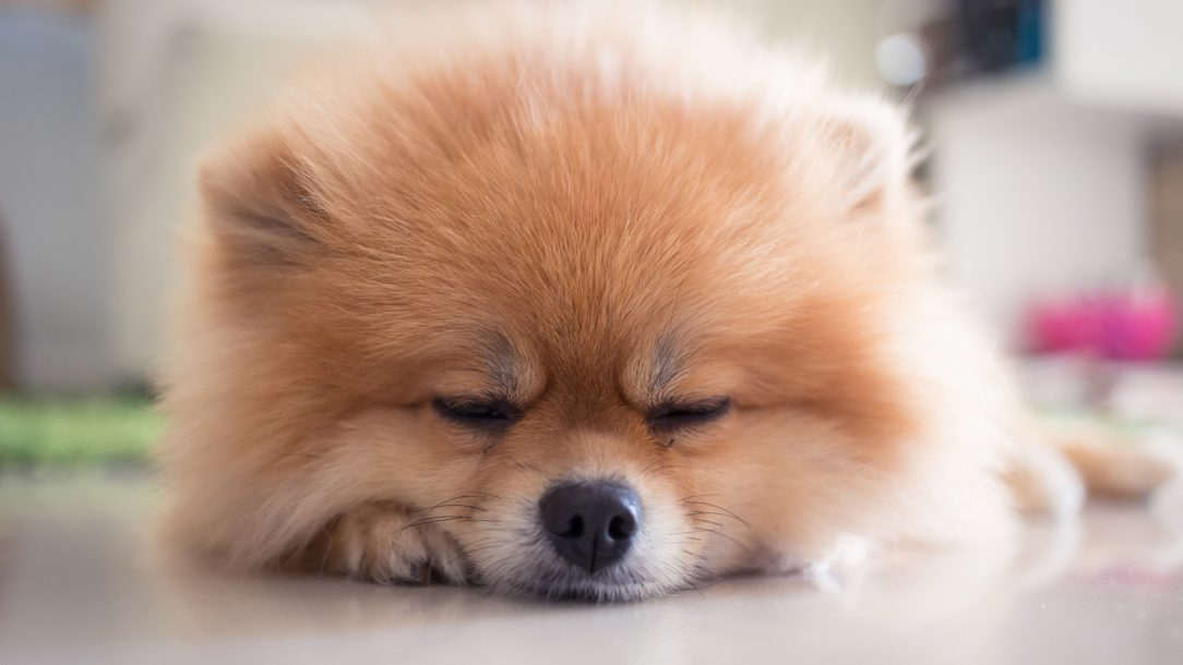 Pomeranian3